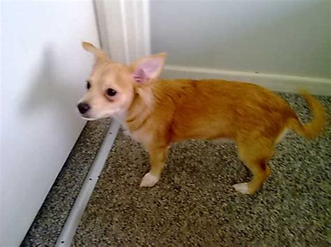 FOR SALE: Chihuahua