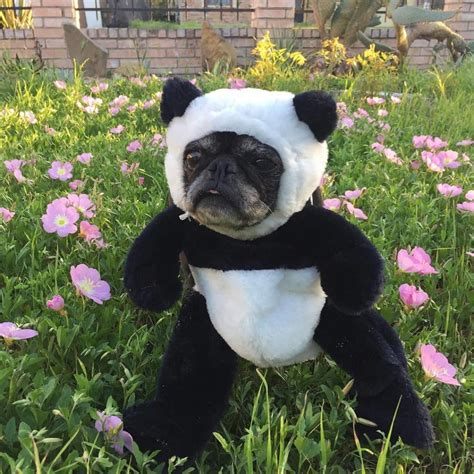 Best Halloween Costume For Your Dog   Pandaloon Pet