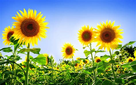 Gorgeous Sunflowers Wallpapers   HD Wallpapers   ID #9130
