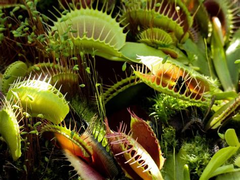 Researchers Find How Carnivorous Plants Evolved Their Meat