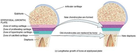 Bone Growth: Elongation of the bone is due to the