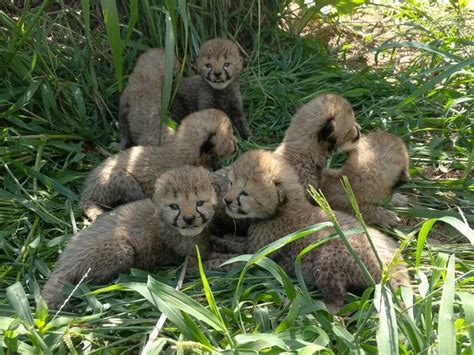 These cheetah cubs are an adorable and important litter