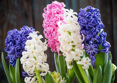 Hyacinths: Planting and Caring for Hyacinth Flowers | The