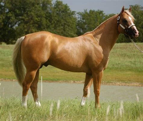 I would love a palomino colt or buckskin out of this