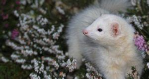 Ferret Breeders Near You with Ferrets for Sale (Ultimate List)