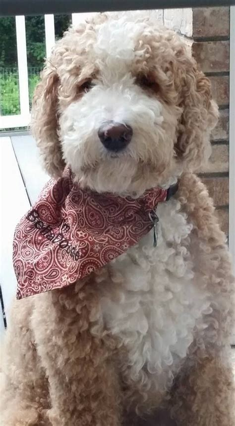 Red and white Tuxedo Goldendoodle | Goldendoodle