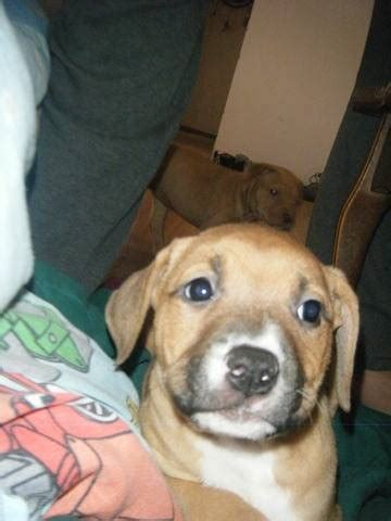 four bullmastiff pitty puppies for sale FOR SALE ADOPTION